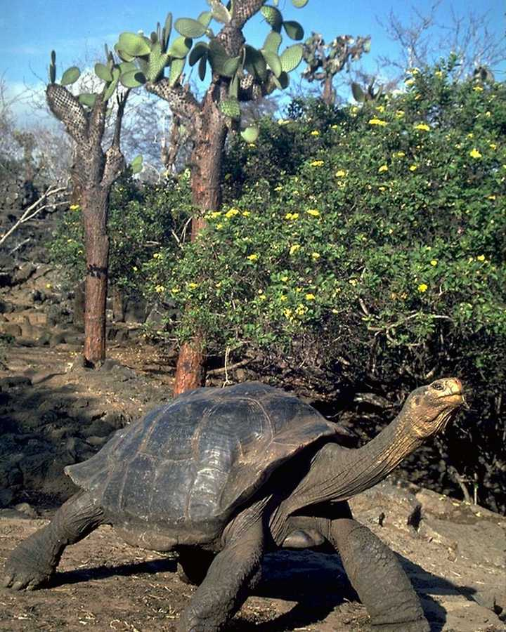 picture of giant tortoise