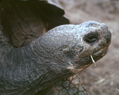 tortoise with blade of grass