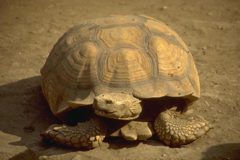 photograph of a cool giant  tortoise